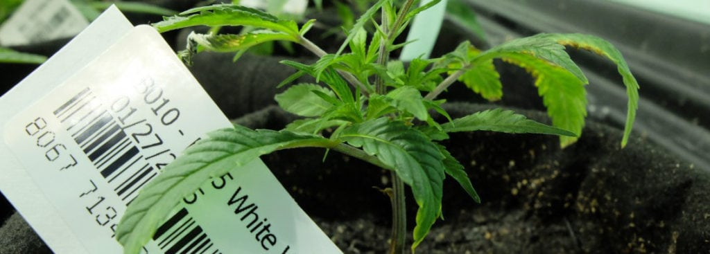 Track and Trace: Cannabis Industry Meets Big Data